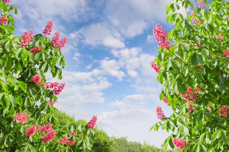 buckeye tree: Branches of blooming red horse-chestnuts  with flowers against the sky with clouds