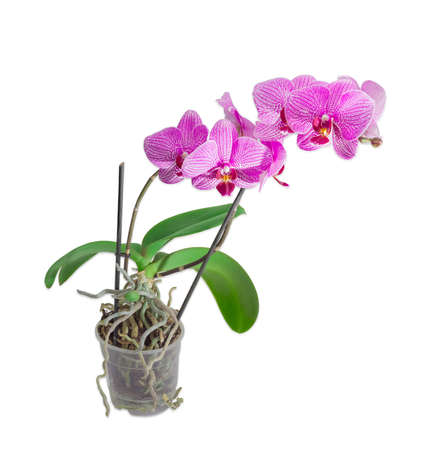 raices de plantas: Phalaenopsis orchid with purple flowers on two stems in a transparent plastic flower pot on a light background
