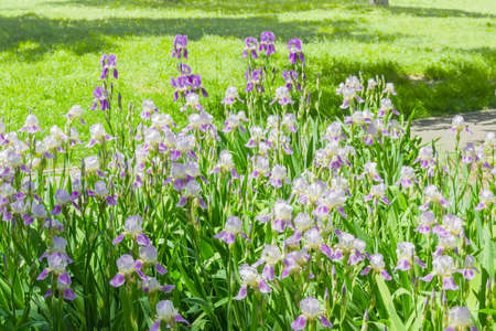 purple irises: Group of blooming purple irises on a flower bed in the background of lawn with grass