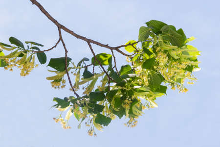 basswood: Branch of linden with inflorescences and leaves during the flowering against the background of the sky Stock Photo