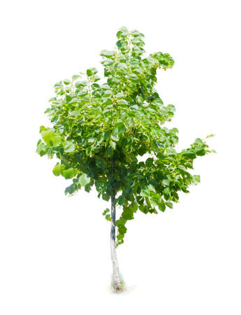 basswood: Young tree of linden during the flowering on a light background Stock Photo