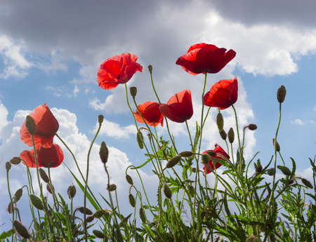 Blossoming field poppies against the sky with clouds in late spring Standard-Bild