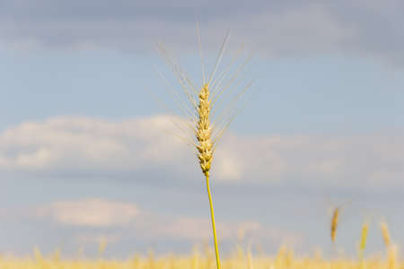 Ripening wheat spike over the wheat field against the sky