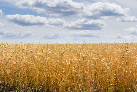 Ripe wheat on a field against the sky with clouds in summer day Stock Photo
