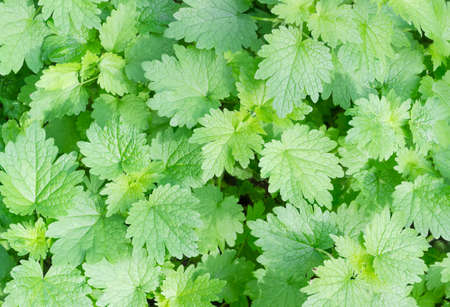 leafage: Background of a leafage of a young white dead-nettle