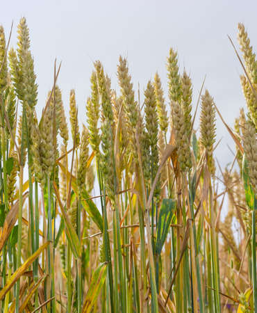 Stalks of ripening wheat with spikes and leaves on the field against the sky closeup Stock Photo