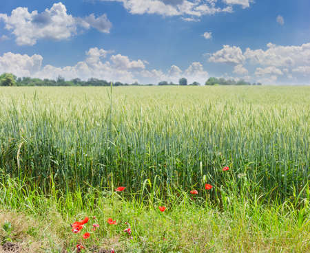 Ripening wheat on a field with poppies in the foreground against the sky with clouds in summer day Stock Photo