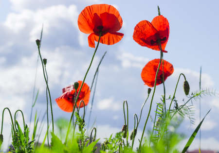 Several poppies on the blurred background of sky Stock Photo