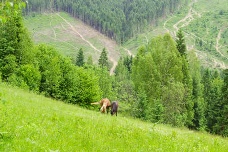 Mountain pasture with grazing two horses against the background of the opposite mountain slope with forest