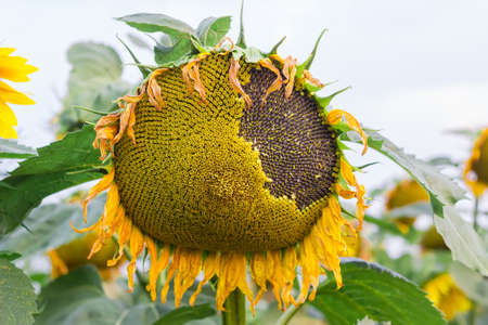 Flower head of a sunflower with ripening seeds closeup