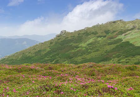 rocky mountain juniper: Mountain landscape with with glade of rhododendrons in the foreground against the background of a mountain range with rocky ledges Stock Photo