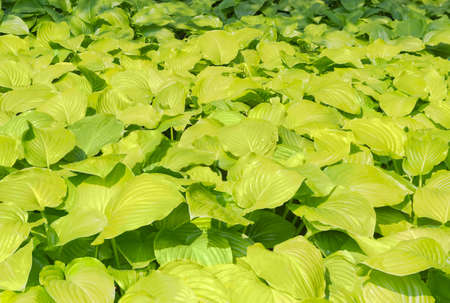 Background of a leafage hosta in a botanical garden