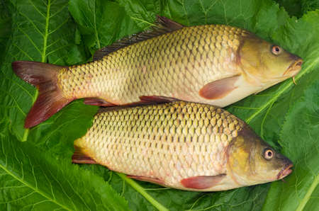 fished: Two freshly fished carps on the green leaves of horseradish Stock Photo