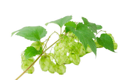 Strobiles of hops on the branch with leaves on a light background closeup