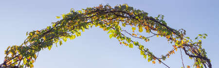 Arch of the metal rods, twined the stems of grapes with autumn leaves against the sky