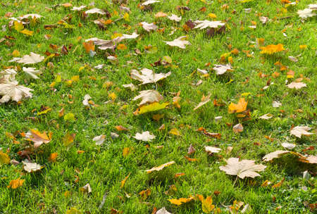 sward: Background of a lawn with green grass and autumn fallen leaves among the grass Stock Photo