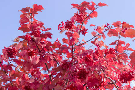 Shrub of viburnum with clusters of ripe berries and red leaves on the background of sky at autumn day Stock Photo