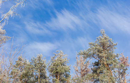 Background of top part of several birches and pines covered with frost on background of sky with clouds in winter morning