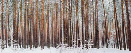 Panorama of the winter pine forest with the tree trunks and branches covered with snow after a snowfall in a cloudy day