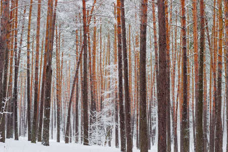 Fragment of a winter pine forest with the tree trunks covered with snow after a snowfall in a cloudy day  Stock Photo