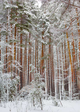 Vertical panorama of the winter pine forest with the trees covered with snow after a snowfall in a cloudy day  Stock Photo