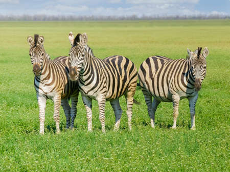 Three Grevys zebras in the spring steppe covered by grass and flowers in the nature reserve Askania-Nova Stock Photo