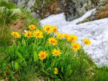 Tatra 산맥에서 바위와 snowfield의 흐린 배경 Arnica 몬타나의 그룹 꽃
