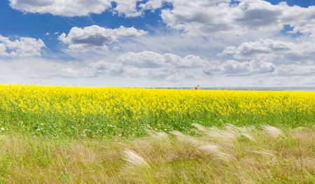 cooking oil: Panorama of the field of the blooming rapeseed with feather grass in the foreground against a background of the sky with clouds