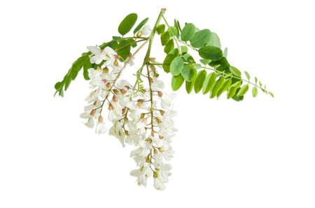 Branch of the blooming black locust tree with leaves and several flower clusters on a light background