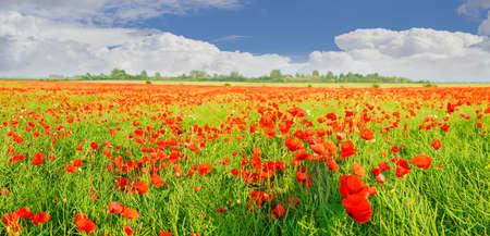Panorama de un campo con las amapolas en flor contra el cielo con nubes Foto de archivo - 80046645