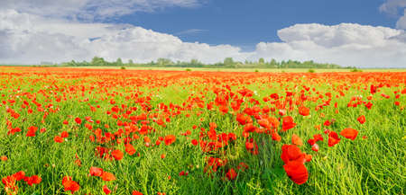 Panorama of a field with the flowering poppies against the sky with clouds Stock Photo