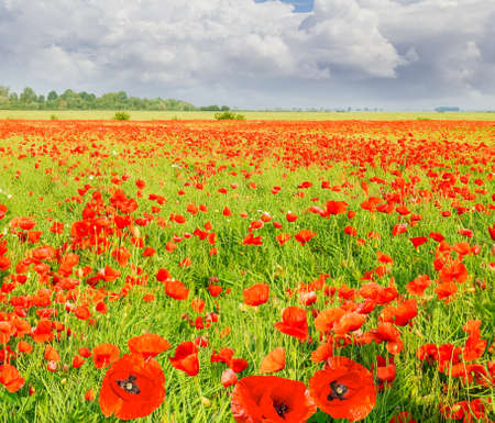 Field with the flowering poppies against the sky with clouds