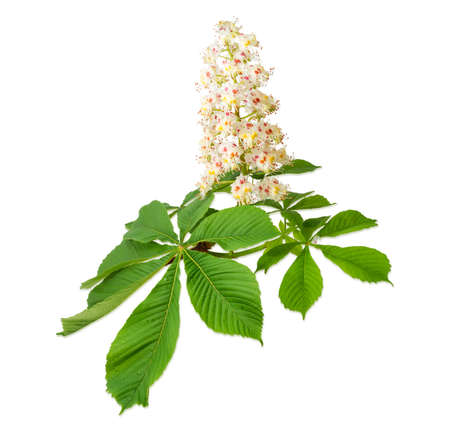 Branch of the blooming horse-chestnuts with leaves and inflorescence on a light background Stock Photo