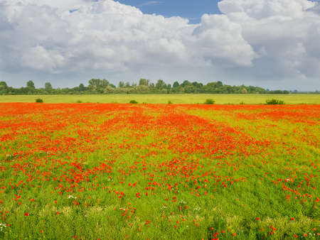 Field with the flowering poppies against the trees and sky with clouds