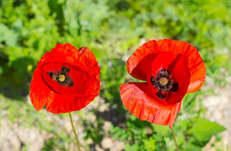 Top view of the two poppy flowers on a blurred background of a grass closeup  Stock Photo