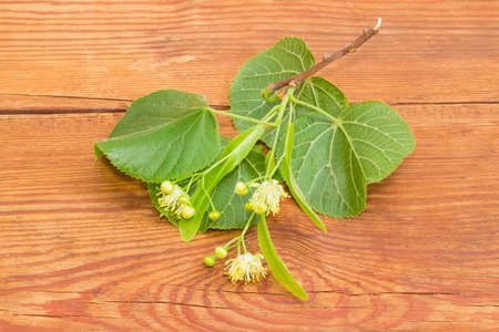 tilia cordata: Several inflorescence of the linden on the small twig with leaves closeup on a surface of the old wooden planks