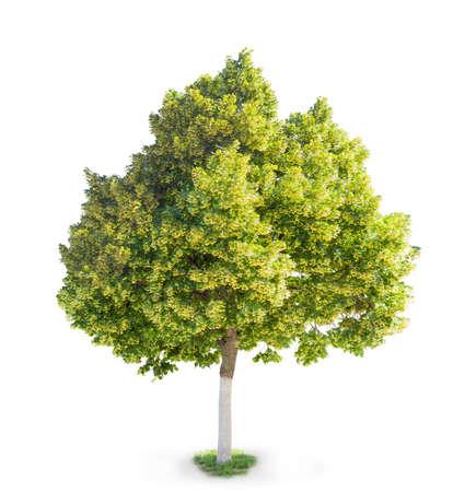 tilia cordata: Linden tree during flowering on a light background. Isolation.