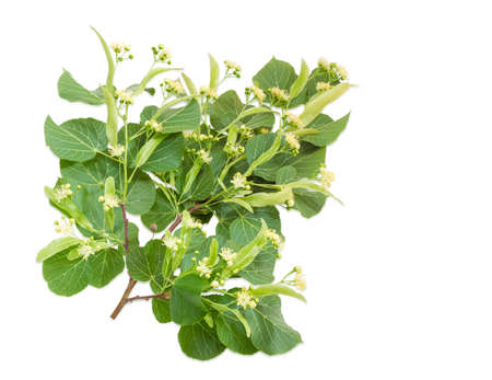 tilia cordata: Branch of the flowering linden with leaves, flowers and buds on a light background Stock Photo