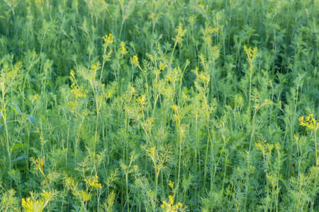 potherb: Background of a fragment of the planting of the dill with stems, leaves and inflorescences at summer evening