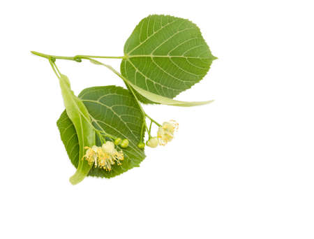 Two inflorescence with two leaves of the linden on the twig closeup on a light background