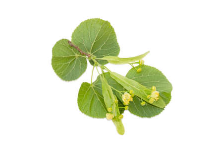 Small twig of the linden with leaves and flowers on a light background