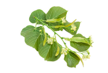 Branch of the flowering linden with leaves, flowers and buds on a light background Stock Photo