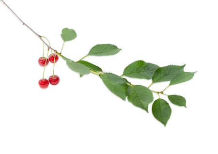 fruitage: Branch of cherry with several ripe berries and green leaves on a light background