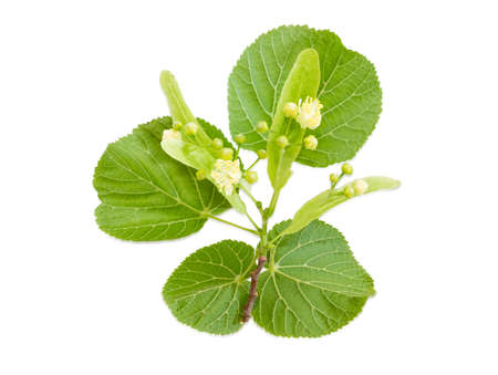tilia cordata: Twig of the flowering linden with leaves, flowers and buds on a light background