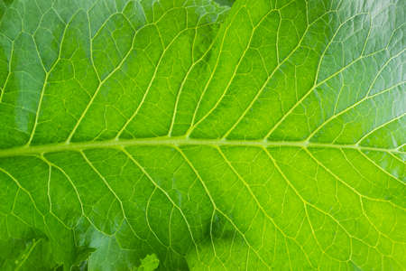Background of a part of the horseradish leaf closeup Stock Photo