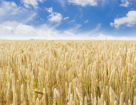 Field of the ripening wheat on the background of the sky with clouds at summer day closeup