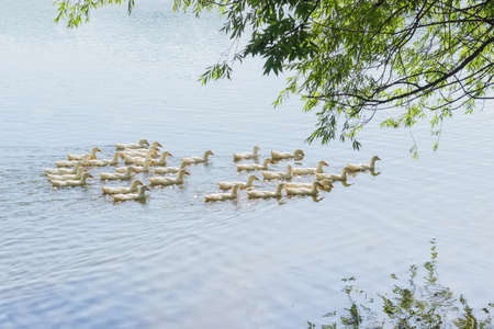 Group of the white domestic ducks on a pond under the willow branches