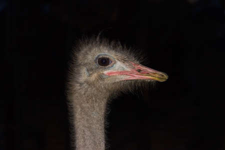 flightless: Head and part of a neck of the African ostrich close-up on a dark background