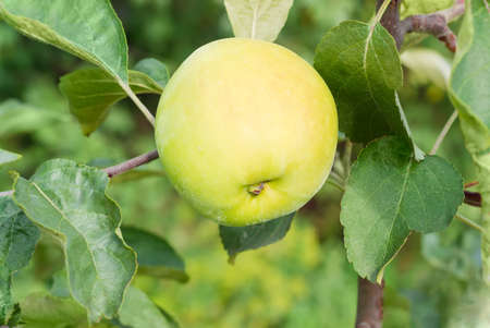 Branch of an apple tree with ripe yellow apple and leaves in an orchard closeup