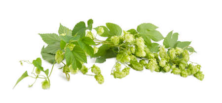 Panorama of the intertwined branches of hops with seed cones and leaves on a white background